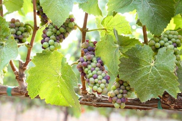 Lucia Pinot Noir Garys Vineyard 2012