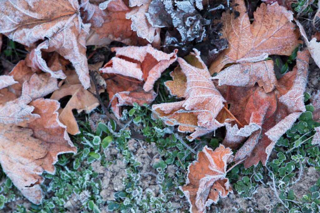 Grape leaves covered in frost blanket the ground on a cold morning