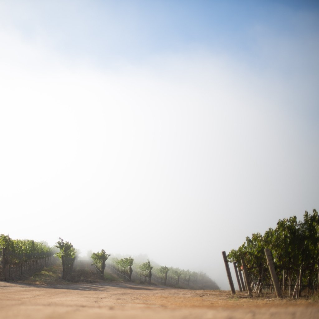 Pisoni Vineyards peaking through the fog as the sun emerges
