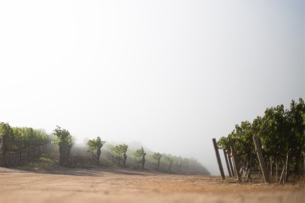 The fog makes for beautiful scenes when it envelops the hillside. At times the vines seem to disappear into a hazy abyss.