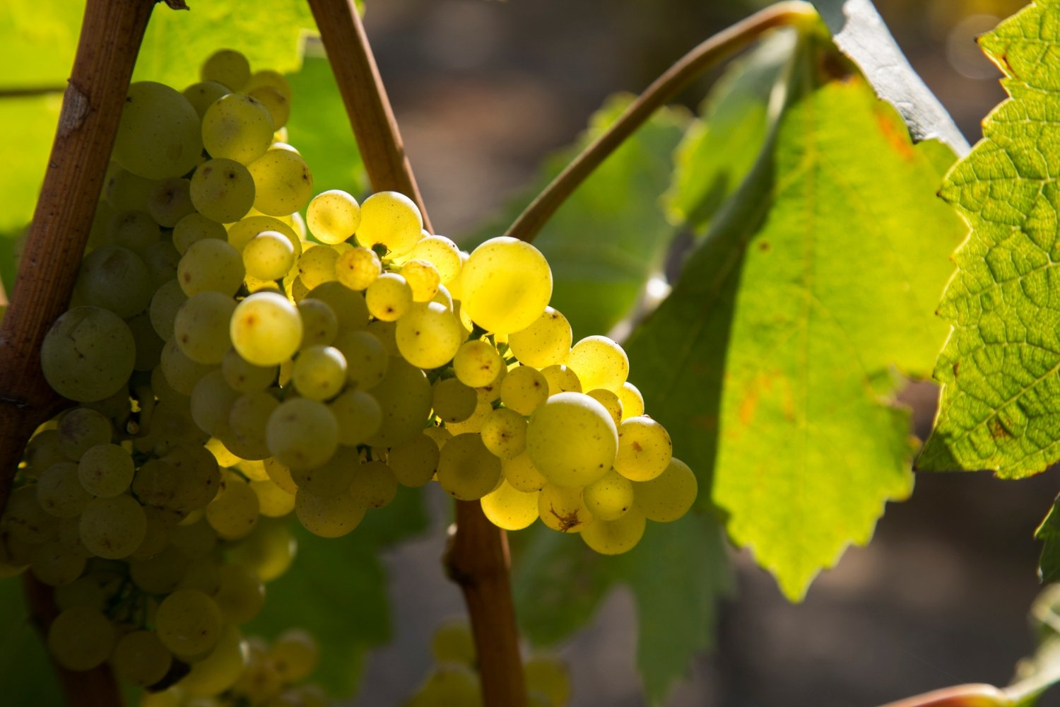 Chardonnay grapes in the Pisoni Vineyards
