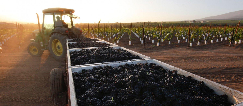 Harvesting Grapes at Sunrise