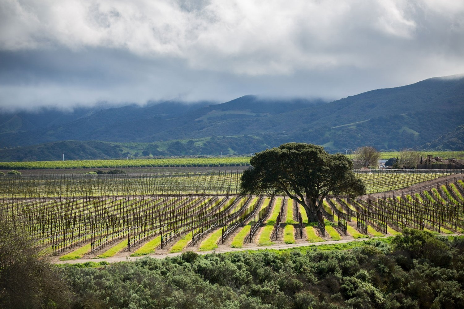 Soberanes Vineyard in the winter.