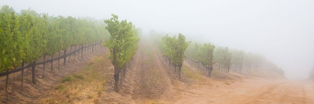 Classic summer fog cools the vineyard.