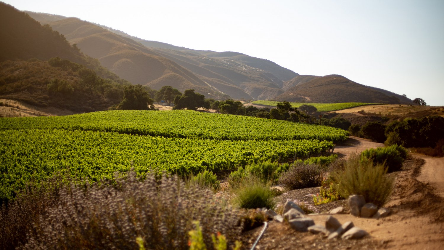 Pisoni Estate vineyards and insectary
